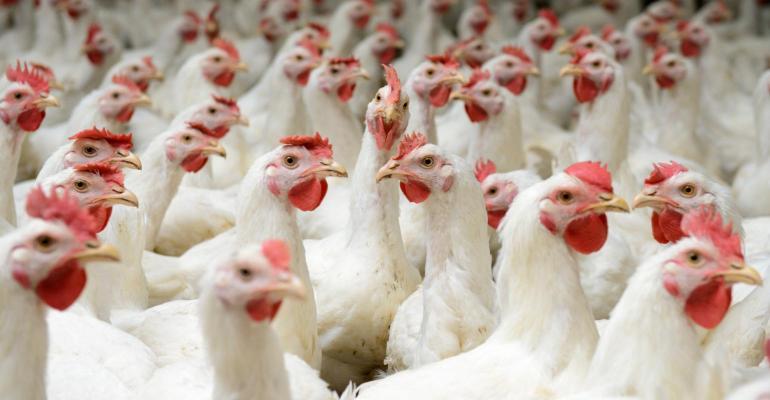 chickens_white broilers_buhanovskiy_iStock-468567374_0.jpg