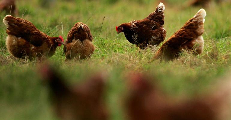 chickensfreerange.jpg