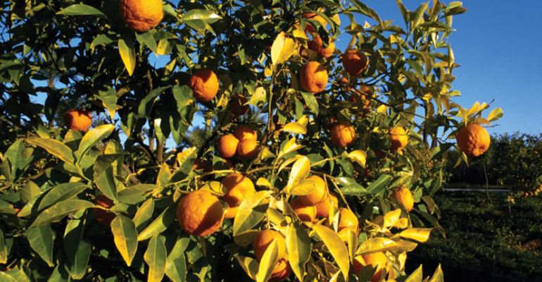 In California cold weather led to citrus crop damage