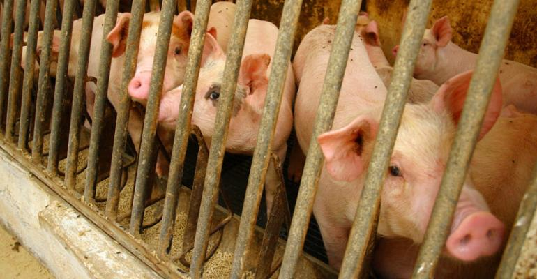 Experts are still unsure how many pigs were lost to PEDv this year