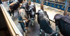 dairy cows entering milking parlor_Hillview1_iStock_Getty Images-533853414.jpg