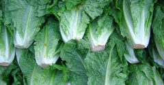 romaine_lettuce_closeup.png
