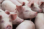 meat conference- pigs-livestock-getty-promo_0.png