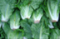 romaine_lettuce_closeup.png