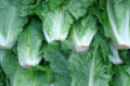 romaine_lettuce_closeup_0[1].png