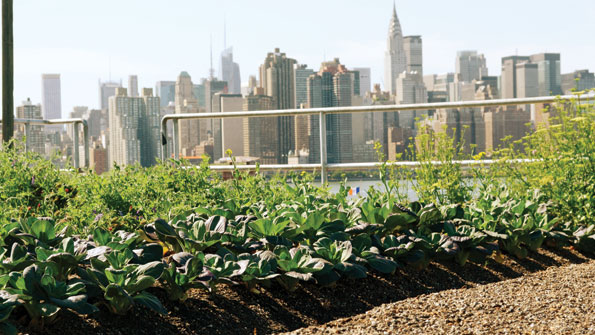 Eagle Street Rooftop Farm, on top of a warehouse in Brooklyn, N.Y.